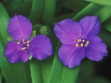 Pair of Spiderwort Flowers