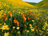 Peaceful Valley, Poppies and Coreopsis