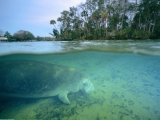 West Indian Manatee, Crystal River, Florida