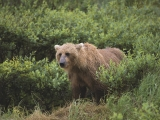 Wet and Wild, Brown Bear, Alaska