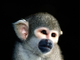 What a Cutie, Squirrel Monkey