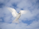 White Tern, Midway Atoll, Hawaii