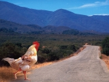 Why Did the Chicken Cross the Road_