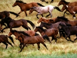 Wild Mustangs, Gardner Ranch, California