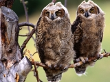 Wise Ones, Great Horned Owl