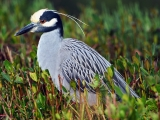 Yellow-Crowned Night Heron, Florida