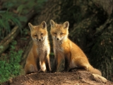 Young Red Fox Kits, Louisville, Kentucky